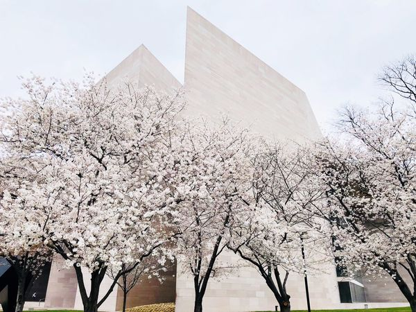 It's spring! Washington, D. C. Cherry Blossom Low Angle View Built Structure Architecture Sky Building Exterior Day Nature Outdoors Travel Destinations Tree Plant City