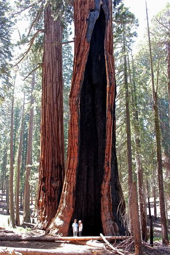 Giant Sequoias - National Park Nature Giant Sequoia California Trees Redwoods California Redwoods Redwood Redwood Trees Bäume Traveling RePicture Growth