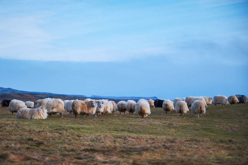 Icelandic Sheep Mammal Sheep Animal Animal Themes Livestock Domestic Animals Group Of Animals Domestic Large Group Of Animals Land Flock Of Sheep Landscape Environment Sky Field Grass Vertebrate Agriculture No People Herd Outdoors Herbivorous Iceland
