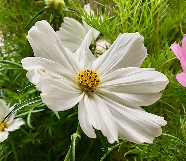 Blüten in ihrer schönsten Form 🎉🌼✨ Flowering Plant Flower Beauty In Nature Fragility Plant Vulnerability  My Best Photo Freshness Petal Flower Head No People Pollen Inflorescence Outdoors Nature Day Focus On Foreground Growth Close-up White Color Springtime