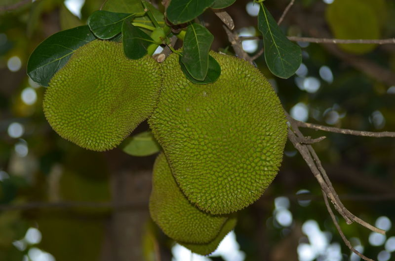 Branch Focus On Foreground Food Freshness Fruit Green Color Growth Jackfruit Leaf Nature Outdoors Tree