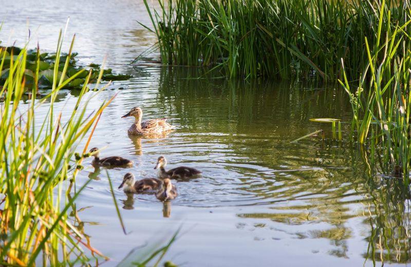 Ducks Nature On Your Doorstep Lake Green Grass Summer Nature Family утки Природа Caucasus