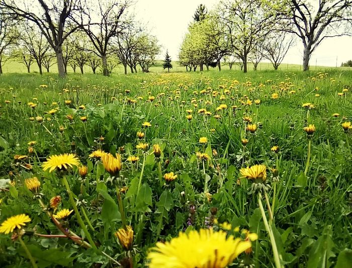 Grass Flower Nature Field Growth Meadow Yellow Tree Outdoors Tranquility Beauty In Nature Green Color Day Plant No People Rural Scene Landscape Scenics Bare Tree Clear Sky Dandelion