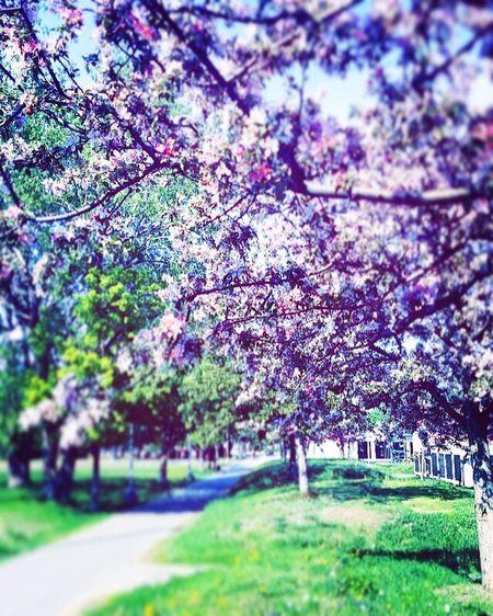 Beautiful blooming trees ❤️