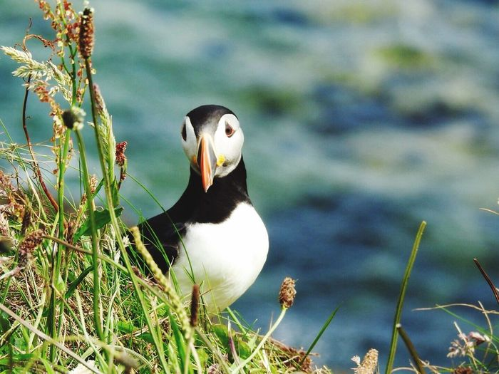 Animals In The Wild Animal Themes One Animal Bird Animal Wildlife Nature Day Lake No People Beak Puffin Outdoors Beauty In Nature Close-up Water Perching