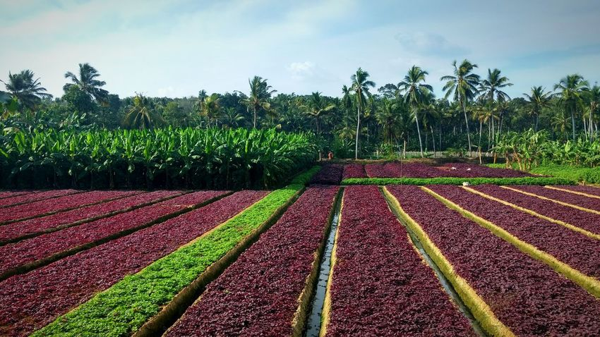 The colourful bands of Farming........ Growth Nature No People Multi Colored Agriculture Landscape Outdoors Beauty In Nature Tadda Community Check This Out Taking Photos Learn & Shoot: Simplicity Lettuce. Farmlandscape