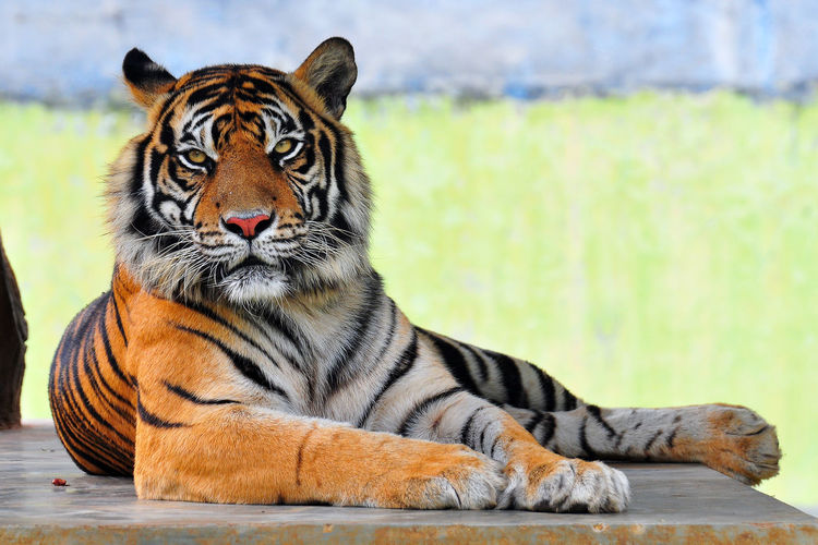 Close-up portrait of tiger sitting outdoors