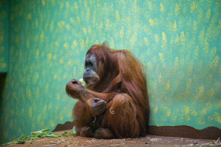 Orangutan Sitting Against Wall In Zoo