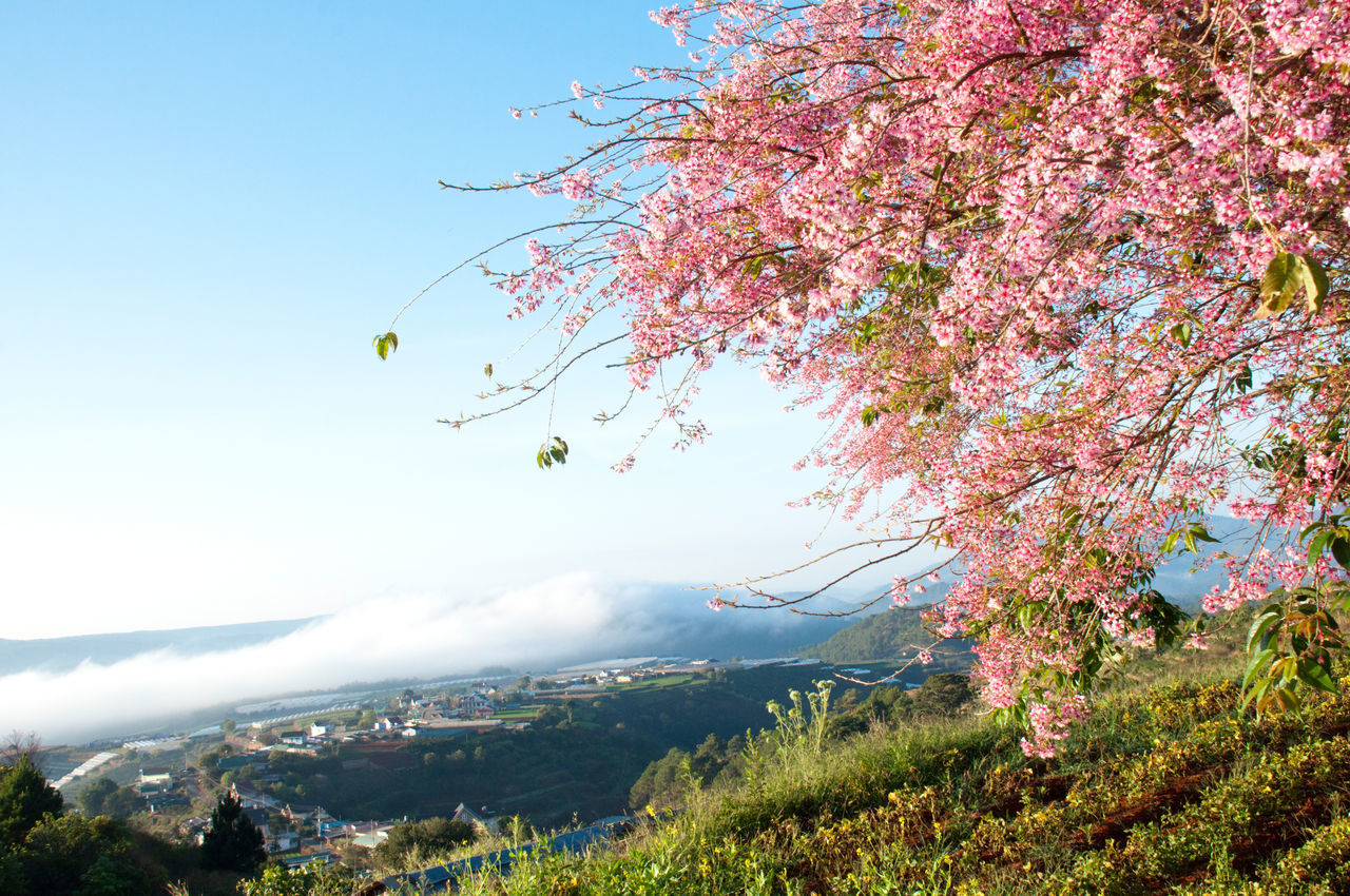 VIEW OF CHERRY BLOSSOM TREE AGAINST SKY