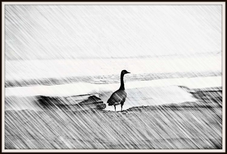 Came upon this Canadian goose standing all alone at the edge of the frozen lake seemingly to be looking for others. Bird Animals In The Wild Outdoors Animal Wildlife Nature No People Perching Animal Themes Close By Home Winter Cold Temperature EyeEm Gallery EyeEm Best Shots Nature_collection Landscape_collection EyeEmNatureLover Goose Atwood Lake Pattern Textured