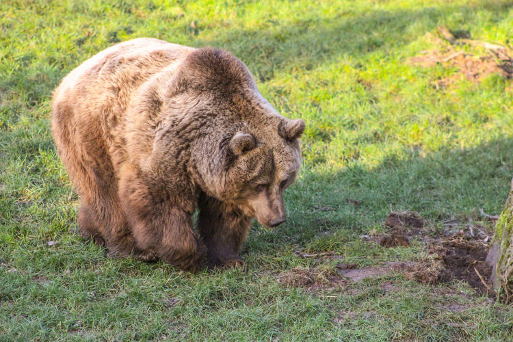 Bear Animal Themes Animal Wildlife Animals In The Wild Brown Bear Close-up Day Field Grass Mammal Nature No People One Animal Outdoors