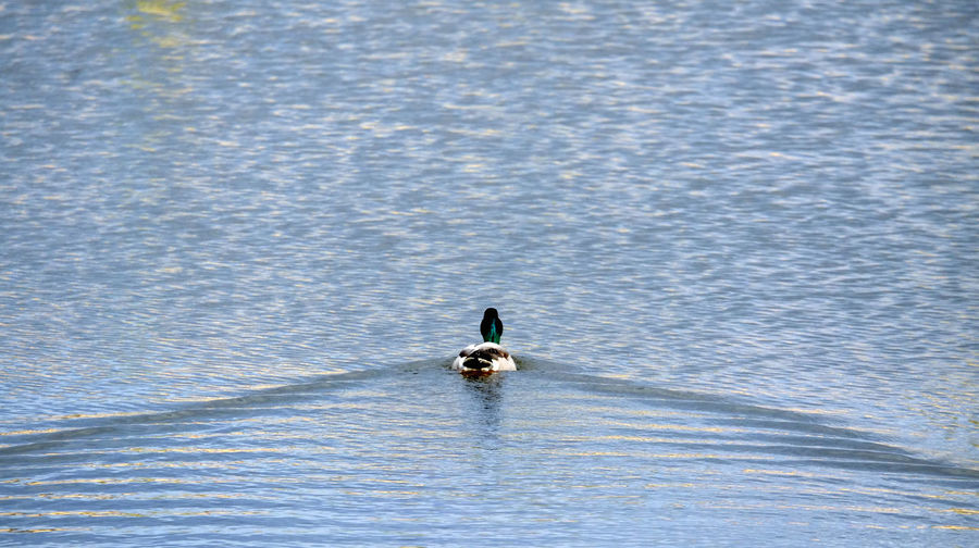 Animal Themes Animals In The Wild Beauty In Nature Bird Duck EyeEm Nature Lover Floating On Water Lake Lake View Landscape Minimalism Nature Nature Nature Photography Nature_collection Naturelovers One Animal Simplicity Swimming Water Wildlife Zoology