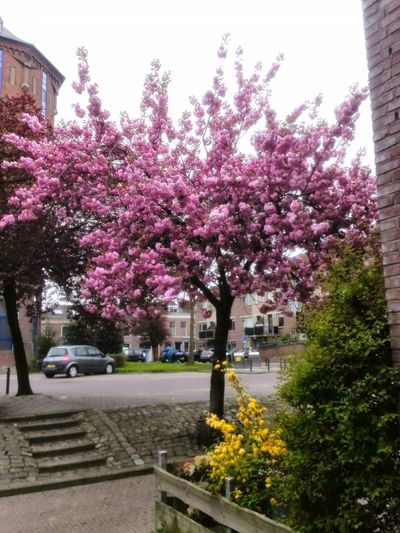Tree Flower Outdoors Springtime Building Exterior No People Built Structure Day Pink Color Architecture Growth Fragility Sky Nature Freshness City Made By Noesie Lgg4photography Pink Blossom Tree Pink Color Yellow Bush Yellow Flower Houses