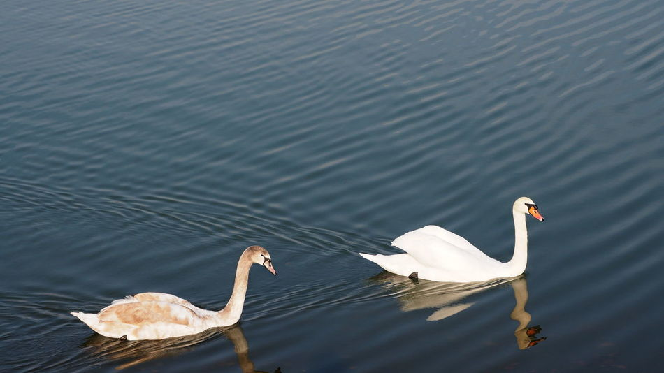 swan Slovakia Bird Water Lake Swan White Swan Water Bird