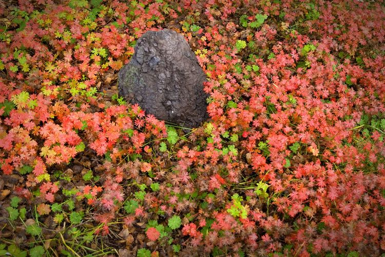 """The Gathering"" Red and green groundcover gather around a charcoal gray stone in a garden in Northern California, USA. Groundcover Garden Garden Photography Stones"