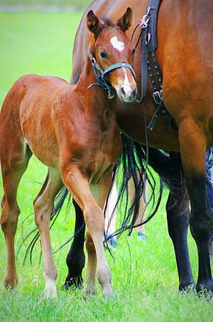 3 Wochen alt, und schon mächtig frech..... three weeks old is the little lady... 🐎🐎🐎 Pferde Horses Little Horse Fohlen Silence Nature Photography Animals Animal Themes Animal_collection Animal Photography Horse Photography  Taking Photos From My Point Of View Hello World Beautiful Cute Animals