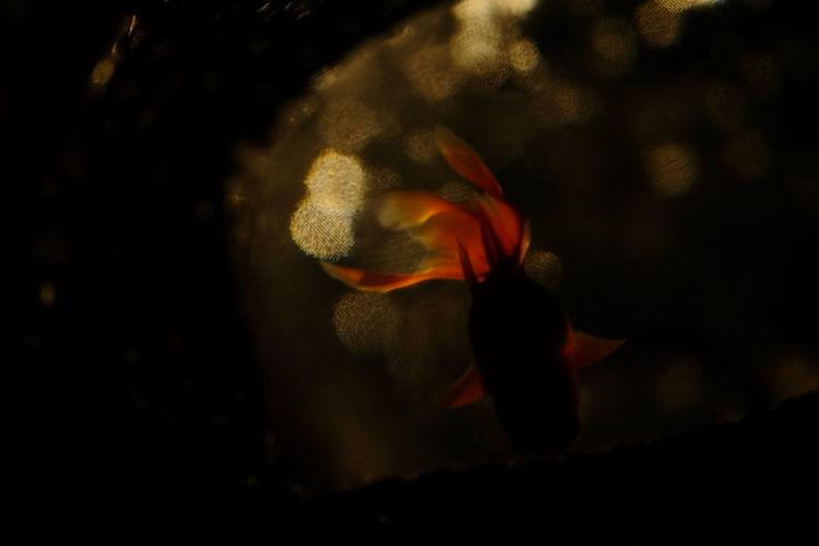 Getting Creative Light And Shadow Goldfish Bokeh Aquarium Fujifilm Xf60 Pro Neg. Hi The Minimals (less Edit Juxt Photography)