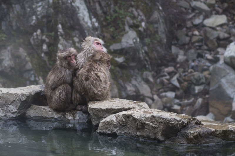 A group of snow monkeys cuddles together. Japan Onsen Winter Animal Family Animal Themes Animal Wildlife Animals In The Wild Cuddling Fur Group Of Animals Japanese Macaque Mammal Monkey Nature No People Outdoors Pool Primate Rock Rock Formation Vertebrate Water Wet