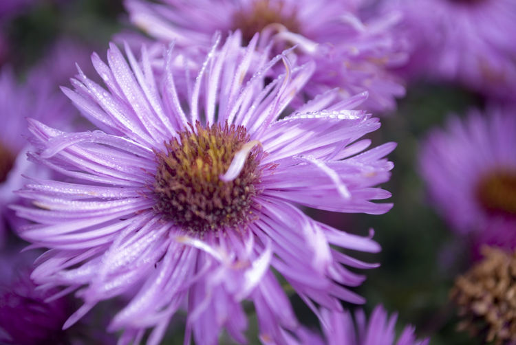 Beauty In Nature Blooming Close-up Day Flower Flower Head Fragility Freshness Growth Nature No People Outdoors Petal Plant Pollen Purple