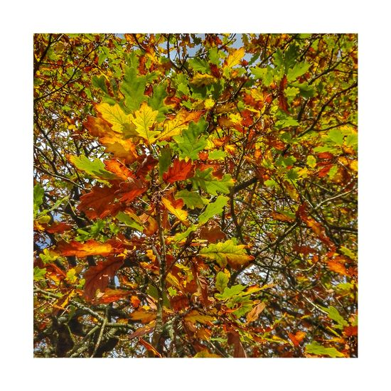 Autumn in Astley v Nature Astley Park Lancashire Chorley Lovelancashire Autumn Growth Leaf No People Tree Day Beauty In Nature Outdoors Close-up Autumn🍁🍁🍁