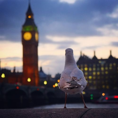 Rear View Of Bird On Retaining Wall By Illuminated Big Ben Against Sky At Dusk