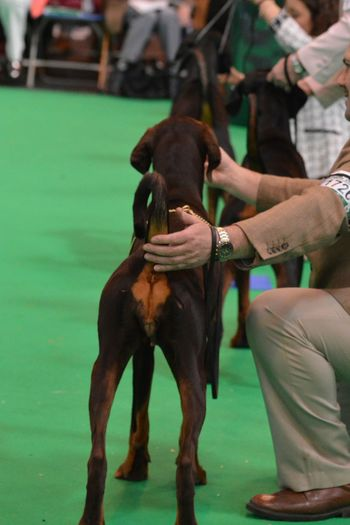 Dog Photography Dog Lover Its A Dogs Life No Filter, No Edit, Just Photography Crufts  DogShow Show Dogs Show Off In The Ring Dobe Doberman  Dogs In A Row