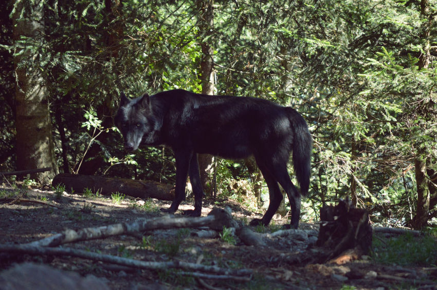 WOLF Animal Animals Forest Nature Nature Photography Naturelovers Outdoors Wolf Wolfpack