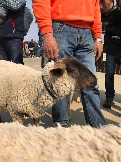 Japan Sheep Livestock Mammal Domestic Animals Agriculture Human Body Part Mature Adult Togetherness Men Day Outdoors Low Section Real People Farmer Occupation Adult Human Hand People Close-up Adults Only
