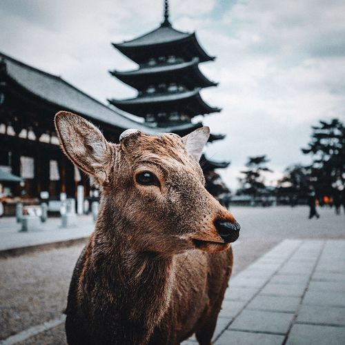 Nara deer park in Nara Nara Park Japan One Animal Animal Animal Themes Day No People Focus On Foreground Close-up Mammal Architecture Animal Representation Representation Nature City Art And Craft Sculpture Winter Outdoors Sky Snow Animal Head