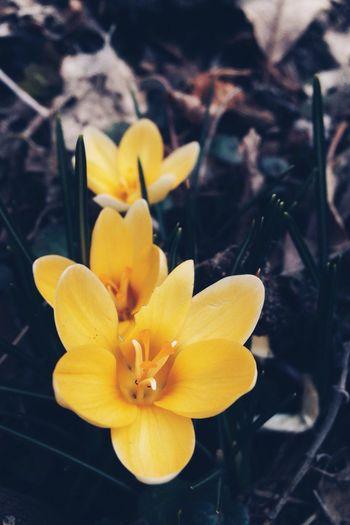 March crocus Flowers Spring