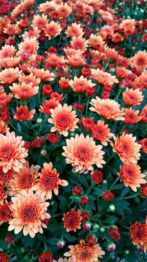 Full frame shot of chrysanthemum flowers blooming on field