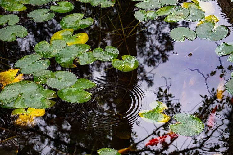 High angle view of lotus leaves floating on water