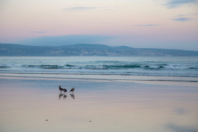 Early morning colours, capturing young seagull chicks on a glistening beach, with St Ives in the background. Sky Reflection Baby Birds Chicks Seagulls Birds Beach Water Animal Themes Mammal Sea Sky Animal Scenics - Nature Beauty In Nature Tranquility No People