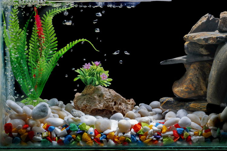 Fish tank decorations, with gravel and trees on a black backdrop. Black Background Fighting Fish Betta Green Show Swimming With The Fish Thai Fish Thailand Tree Animal Aquarium Background Clean Decoration Design Fighting Fighting Fish Fish Fish Tank Freshwater Freshwater Fish Gravel Gravel Road Pets Siamese Fish Underwater