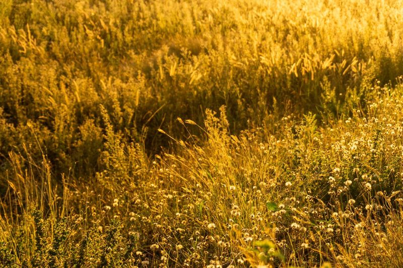 Yellow Beauty In Nature Plant Gold Colored No People Full Frame Growth Field Outdoors Gold Flower Glowing Sunlight Nature Lighting Equipment Flowering Plant Land Tranquility Backgrounds