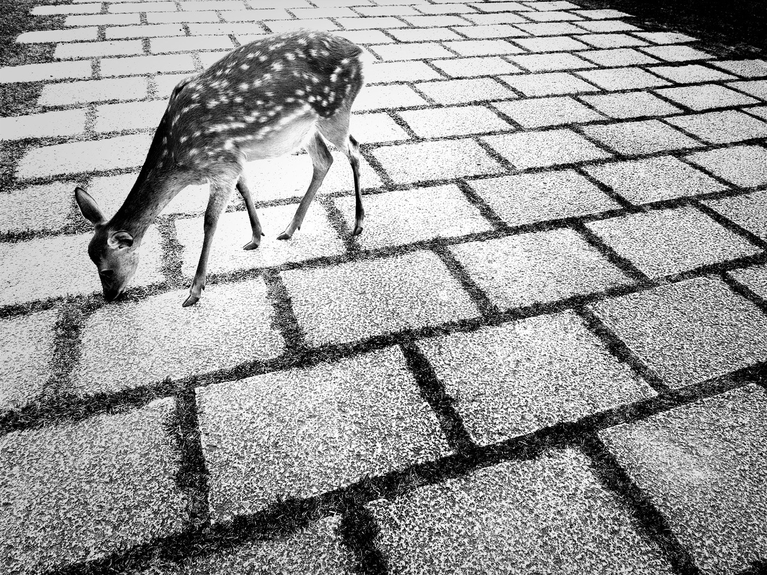 animal themes, animals in the wild, wildlife, bird, one animal, street, pigeon, high angle view, cobblestone, shadow, sunlight, full length, two animals, outdoors, three animals, zoology, day, sidewalk, walking, road