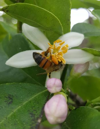 HoneyBee Busy Bee Busy Bees Pollination In Action Pollination Pollinators Buzzbuzz Showcase March Lime Blossom In The Beginning  A Lime Is Born Flowers Little Flower Flora Blossoms  Lime Tree