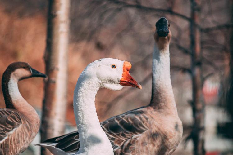Close-up of goose