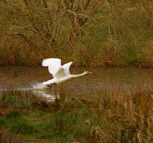 One of the swans at the Little Boghead nature reserve in Bathgate Animal Themes Animal Wildlife Animals In The Wild Bird Close-up Day Flying Swan Full Length Grass Great Egret Lake Nature No People One Animal Outdoors Reflection Spread Wings Swan Swan Flying Swan Taking Off Water White Color