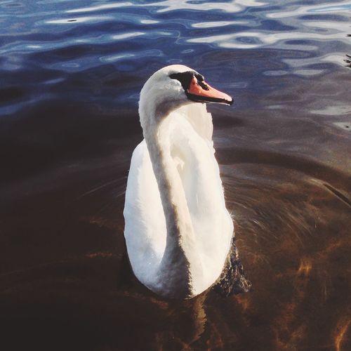 Swan Swans Birds Water Lake