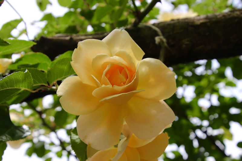 Beauty In Nature Flower Head yellow flower rose Green Leaves Freshness Outdoors Plant petals Close-up