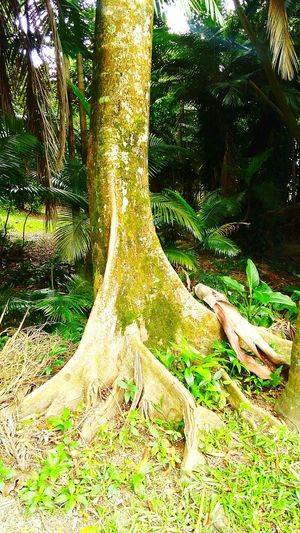 Growth Beauty In Nature Forest Tree Trunk No People Outdoors Nature Beauty In Nature Natural Photography Natural Colours Natural Light Tranquility Scenics Rainforest Australia