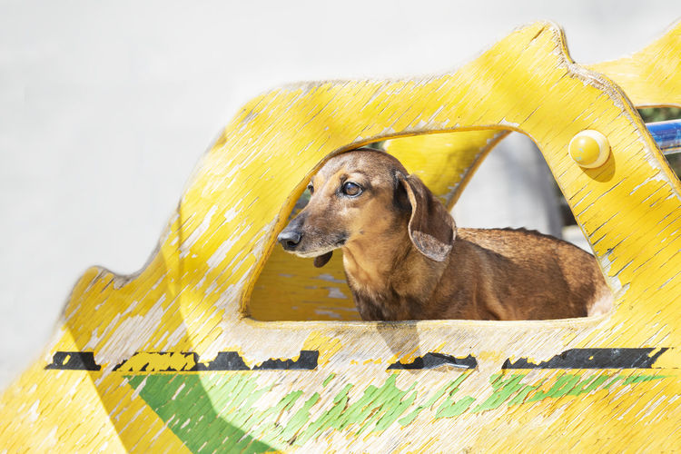 Beautiful brown dachshund at the park in a sunny day. One Animal Mammal Domestic Animals Pets Domestic Vertebrate No People Outdoors Background Wallpaper Copy Space Outside Sunny Day Green Yellow Dauchshund Canine Pet Park Nature Portrait Pedigree Breed Furniture Face Dog Animal