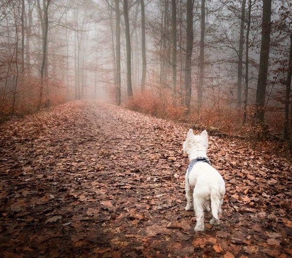 Pets Domestic Animals Dog Animal Themes One Animal Tree Nature Bare Tree No People Outdoors West Highland White Terrier Day Autumn Autumn Colors Autum Walk Wonderful Walk With Dog Kirchheim Unter Teck Germany