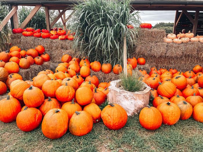 Pumpkins in market for sale