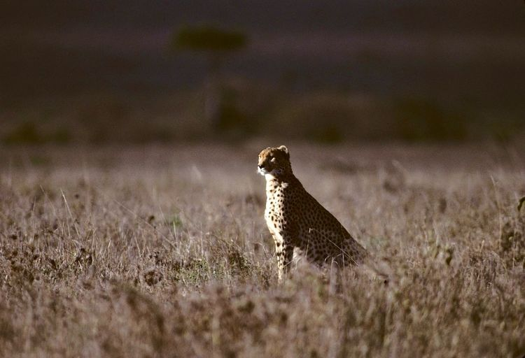 Cheetah Sitting On Field