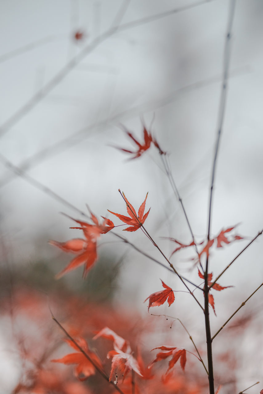 CLOSE-UP OF PLANT AGAINST RED AUTUMN