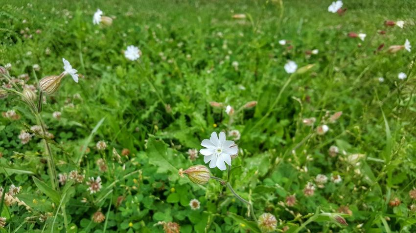 Growth Nature Fragility Beauty In Nature Flower White Color Flower Head Grass Plant Petal Outdoors Freshness No People Green Color Field Day Close-up Blooming White Flowers Meadows And Fields Meadowflowers PhonePhotography Spring Nature