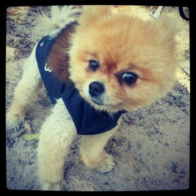 Loggy walking out Kuw Kuwait Q8 Q8ig q8instagram dog pomeranian jordan syrian syria pet cute