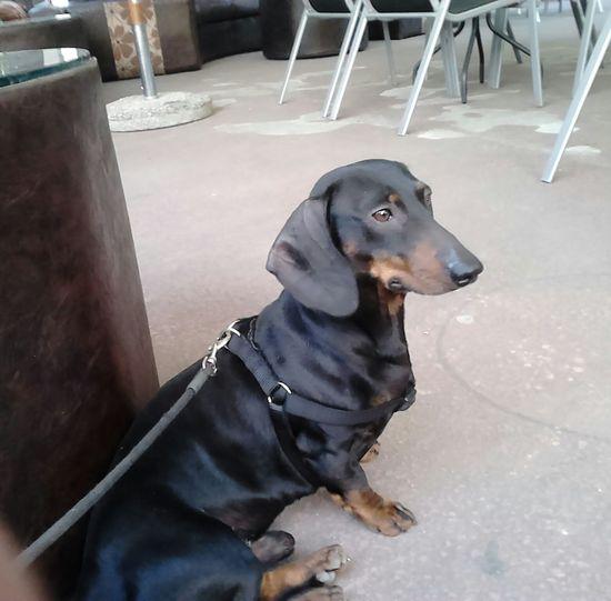 Tosha the dachshund Comfortable Home Pet Pets Corner Relaxation First Eyeem Photo